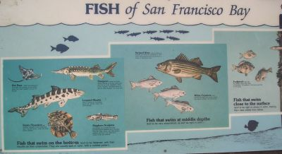 Fish of san francisco bay area for Bay area fishing