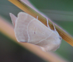 American Dun-bar Moth