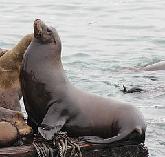 California Sea-lion