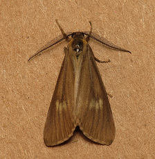California Oak Moth