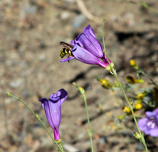 Hornet on Foothill Penstemon