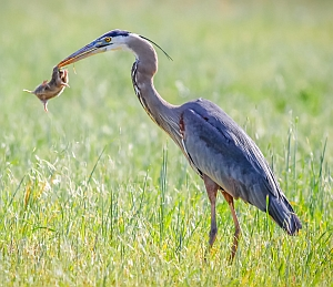 Great Blue Heron eating rodent