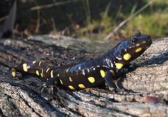 ca_tiger_salamander.jpg